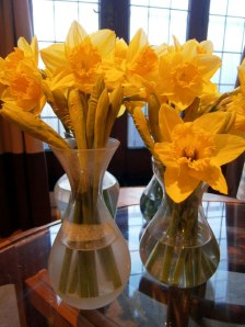 Four vases of daffodils